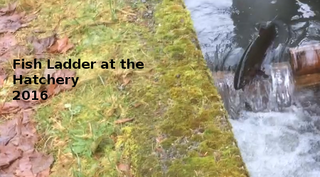 Link to Fish Ladder at Hatchery 2016Video
